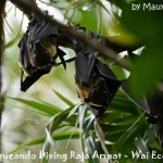 Volpi volanti - Flying foxes