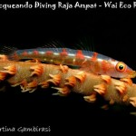 Gobide del corallo - Whip coral goby (Bryaninops cf. youngei)