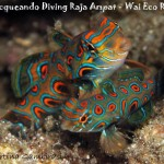 Mandarin pitturato - Picturesque dragonet (Synchiropus picturatus)