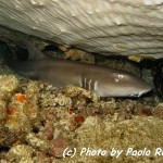 Squalo nutrice fulvo - Tawny nurse shark (Nebrius ferrugineus)