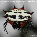 Ragno - Spiny orb-weavers (Gasteracantha sp.)